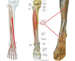 Spieren voet en onderbeen